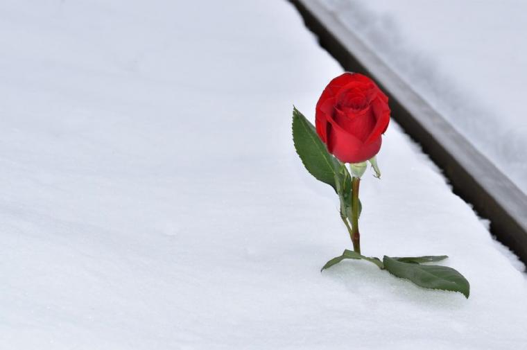 雪に立てられたバラ