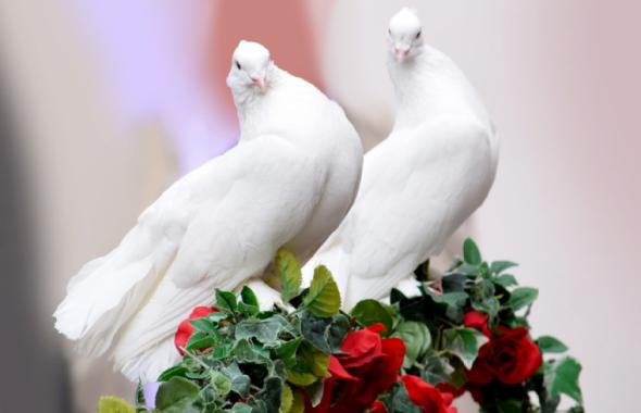 つがいの白い鳩
